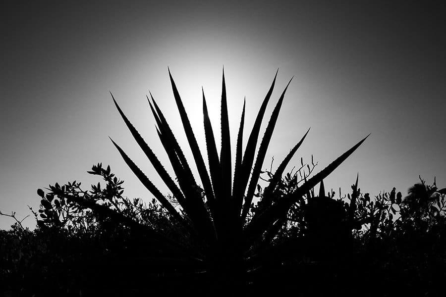 Henequen en Yucatán